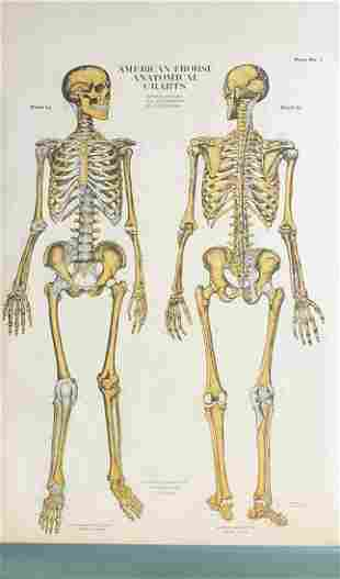 American Frohse anatomical chart depicti...