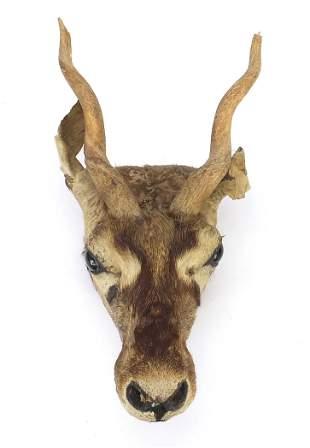 Taxidermy gazelle head with horns, 40cm ...