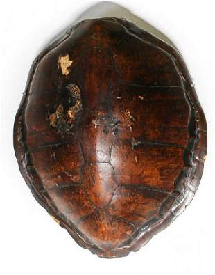 Large Dark Brown Sea Turtle Carapace Shell