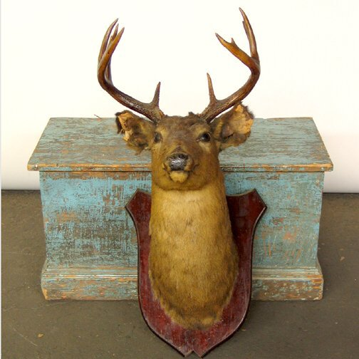 901: MOUNTED DEER HEAD. Taxidermied deer head