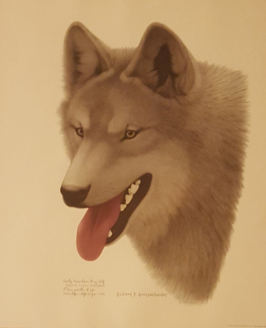 Color Print of Gray Wolf Life-Sized, Framed
