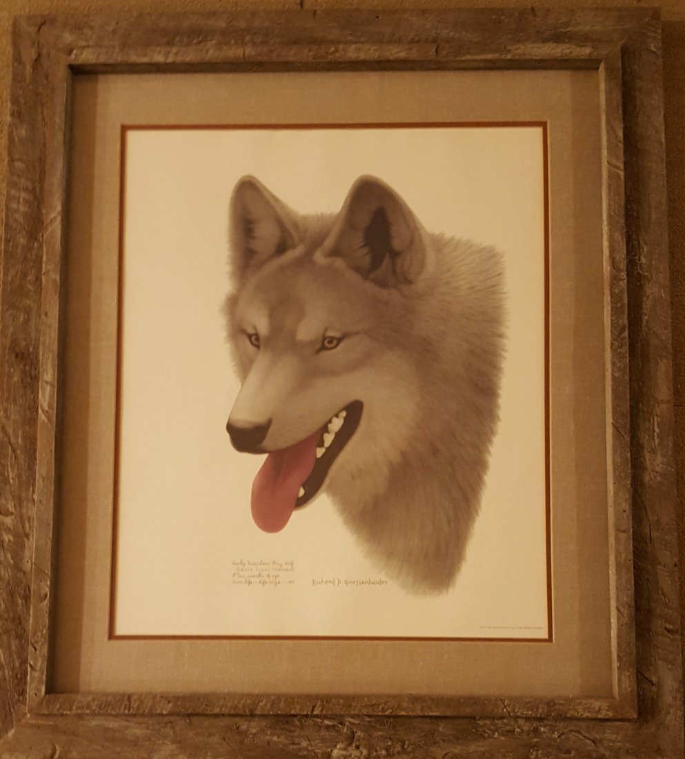 Color Print of Gray Wolf Life-Sized, Framed - 2