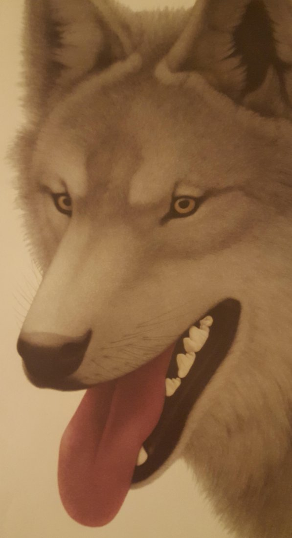 Color Print of Gray Wolf Life-Sized, Framed - 3