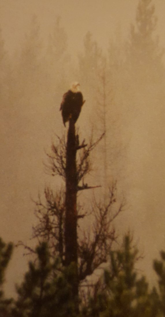 PHOTOGRAPH Framed Two Bald Eagles - 3