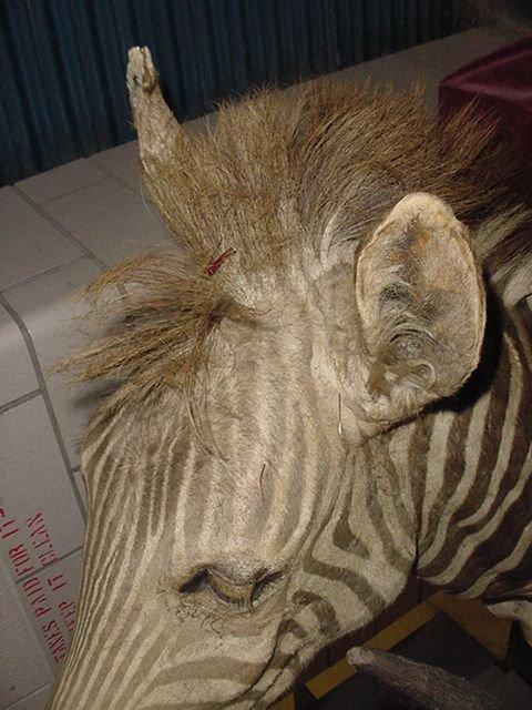 1: Zebra head mount - 2