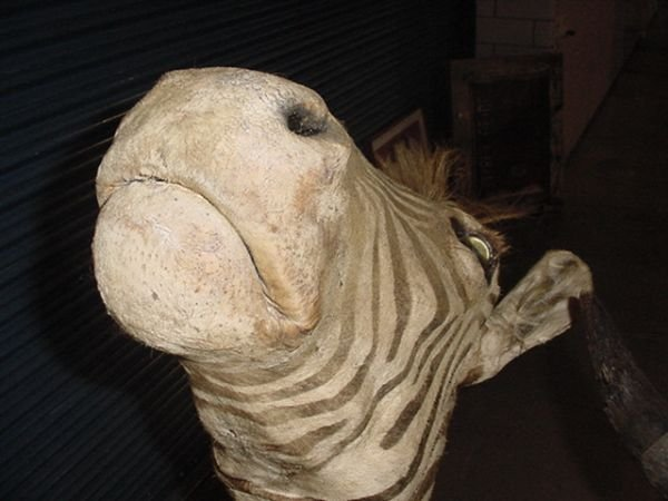 1: Zebra head mount - 3