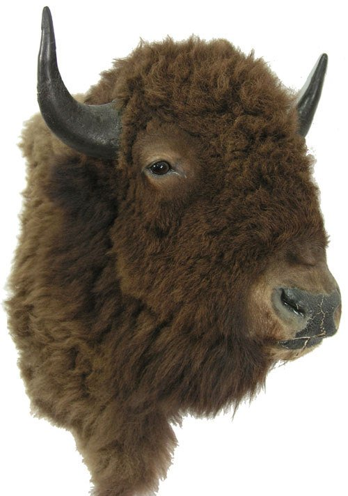 364: Mounted Buffalo Head