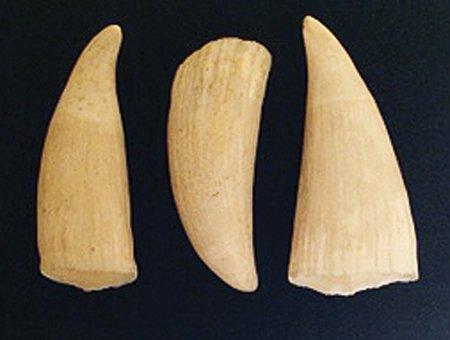 Whale Teeth