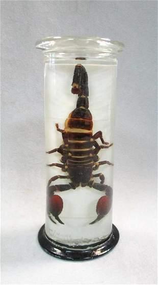 A jar preserved scorpion, circa 1920,
