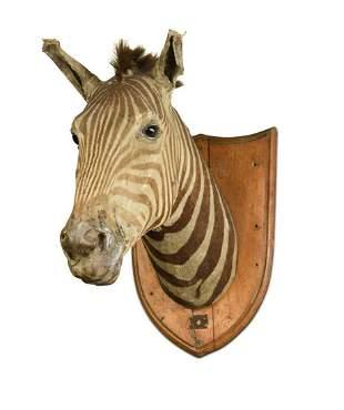 A late 19th century taxidermy zebra (equus quagga) neck