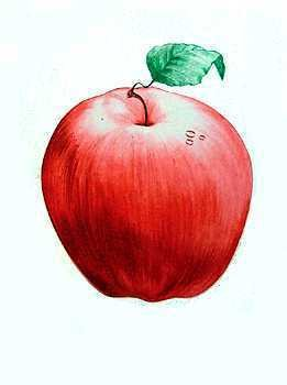 1221: Apple Realistic Etching Hand Colored Ltd Ed