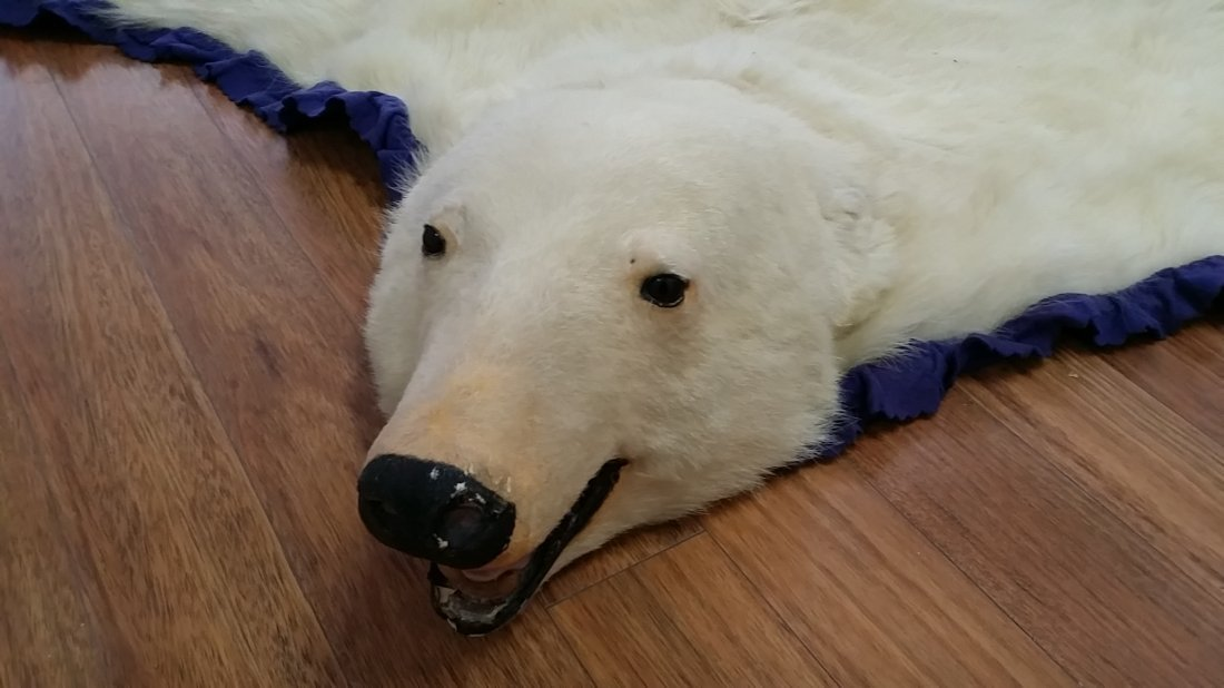 Real Polar Bear Skin Carpet  8' - 2