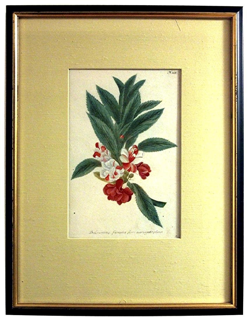 J.W. Weinmann: Balsamina. Pl.221 Color Engraving c.1745
