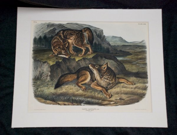 21: AUDUBON, J[ohn] J[ames]. Canis Latrans....