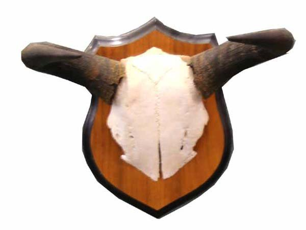 24: BLUE WILDEBEEST GNU HORNS MOUNTED