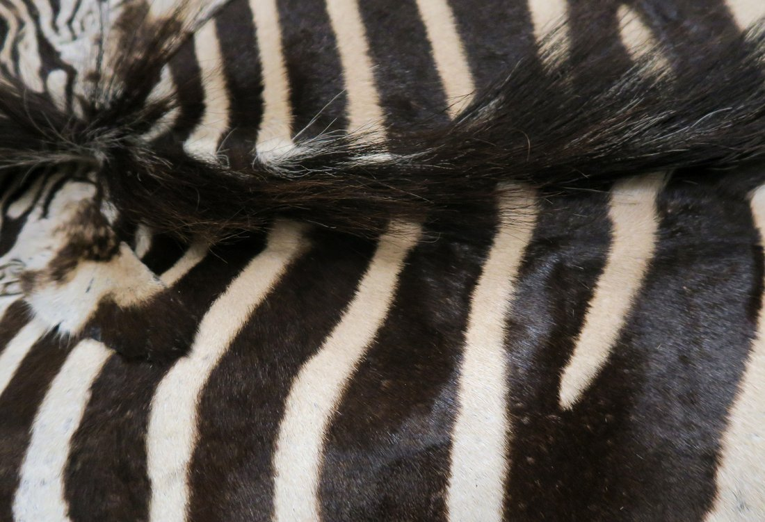 Authentic Real Zebra Rug - 3