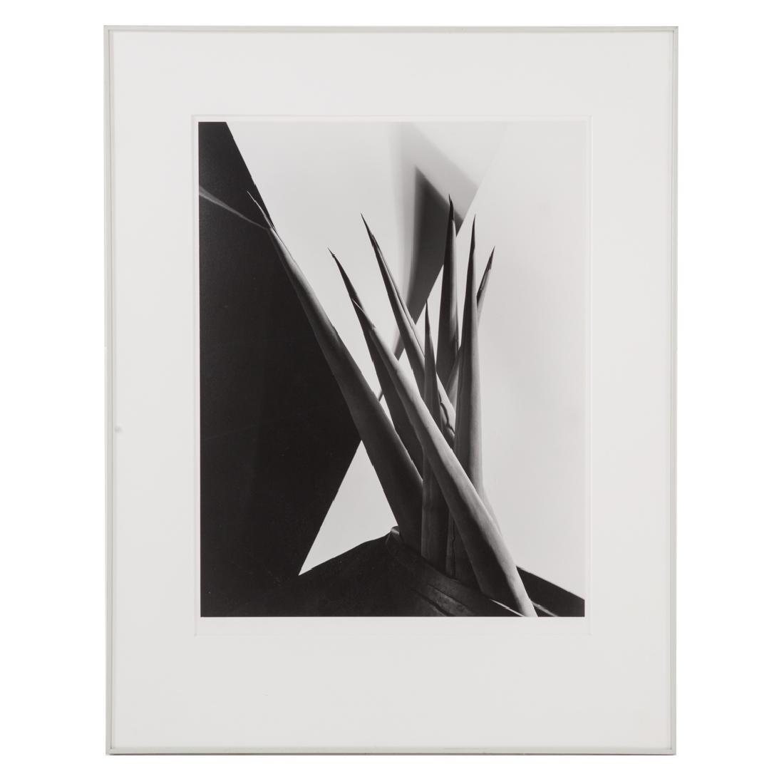 """Imogen Cunningham (after). """"Agave Design"""", photo"""