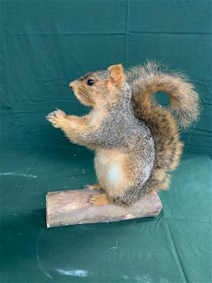 Life-size fox squirrel with nut