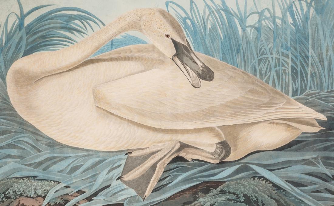 John J. Audubon Trumpeter Swan, Havell ed. - 3