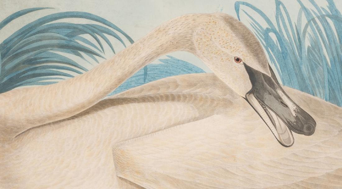 John J. Audubon Trumpeter Swan, Havell ed. - 4
