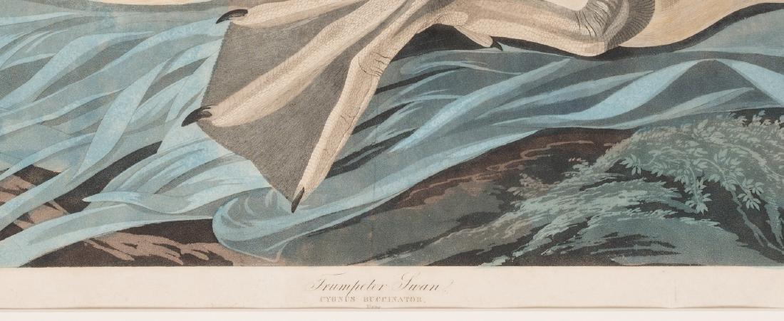 John J. Audubon Trumpeter Swan, Havell ed. - 5