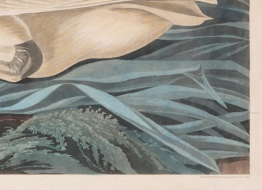 John J. Audubon Trumpeter Swan, Havell ed. - 6