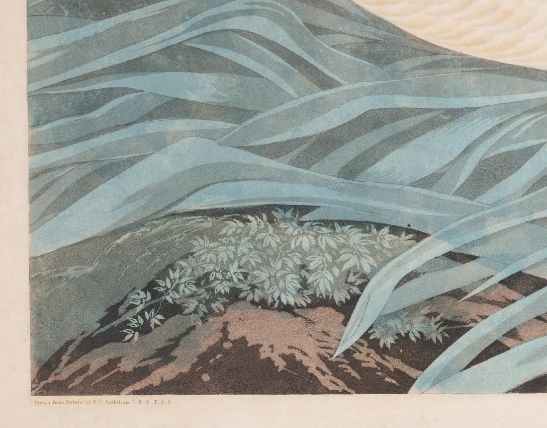 John J. Audubon Trumpeter Swan, Havell ed. - 7
