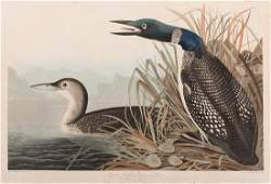 J.J. Audubon, Great Northern Diver or Loon