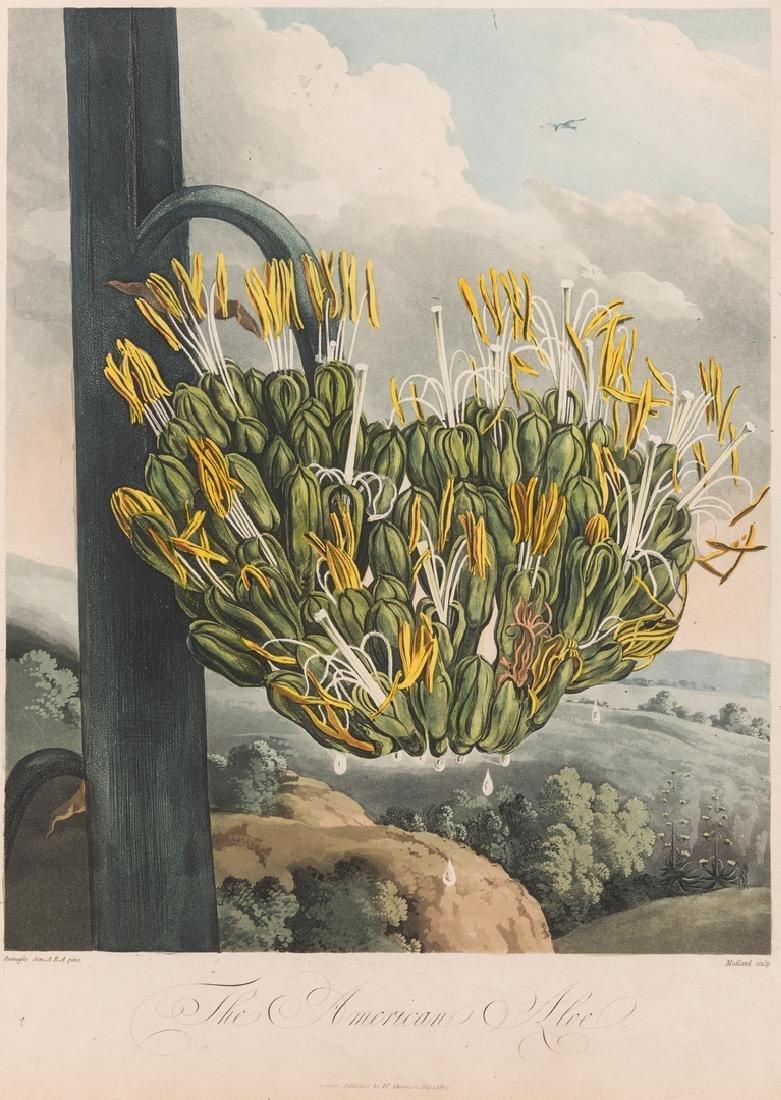 Large Thornton-American Aloe