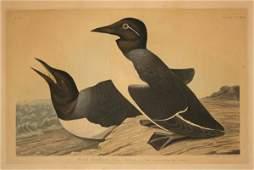 143: Audubon Havell edition, Foolish Guillemot