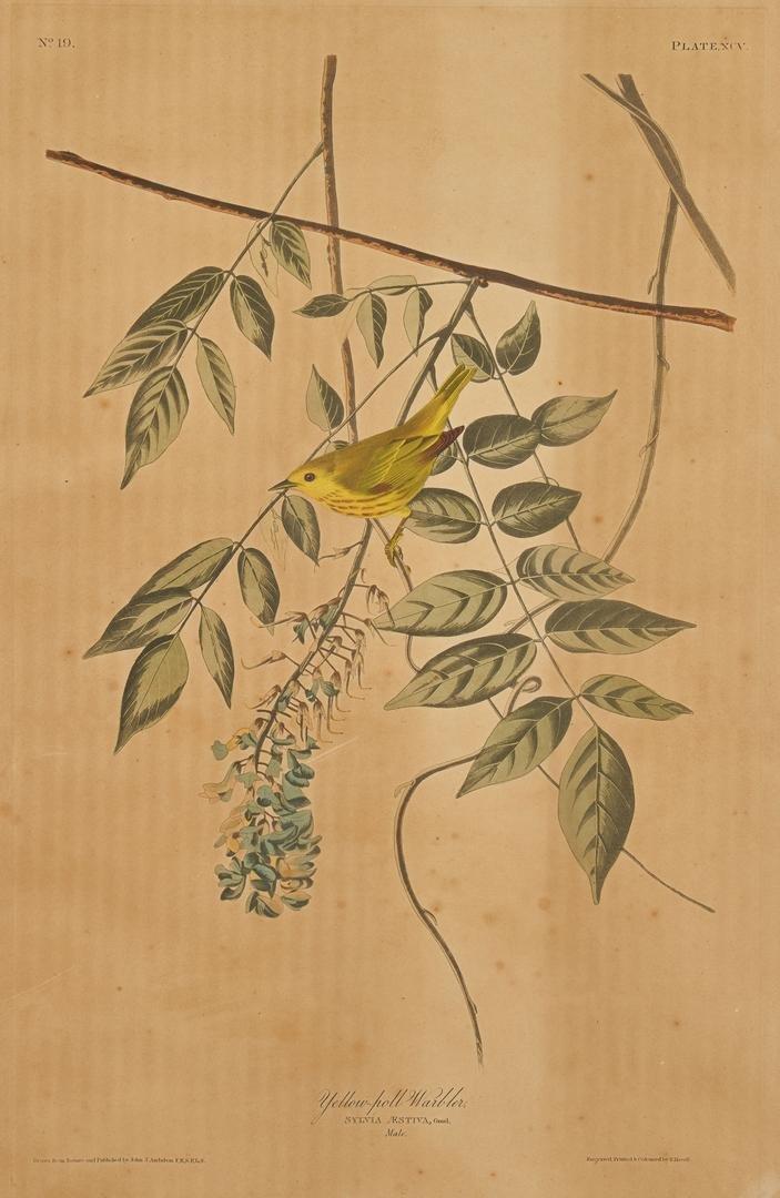 J. Audubon, Yellow-Poll Warbler, Havell Edition