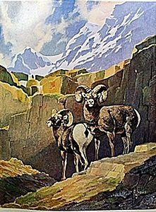"Lithograph ""the Bighorn Sheep"" By Artist Francis Lee"
