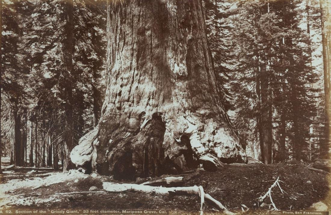 Section of the Grizzly Giant, Mariposa Grove, Cal.