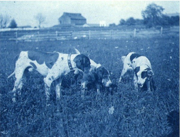 Cyanotype of Three Dogs in a Field. c1900