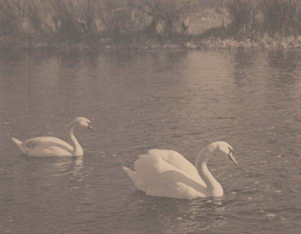 ÊSwans on a Lake. C1920