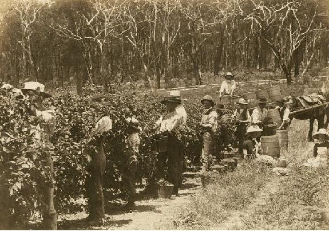 Raspberry Picking in Australia. c1880