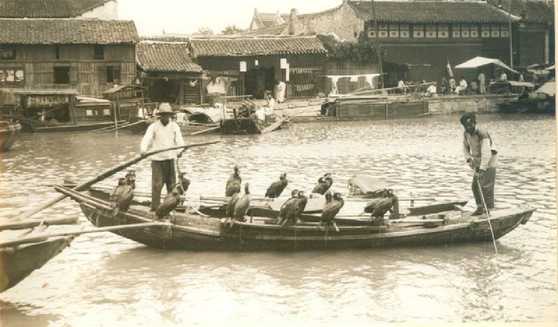 Cormarants used to catch fish in China. c1925