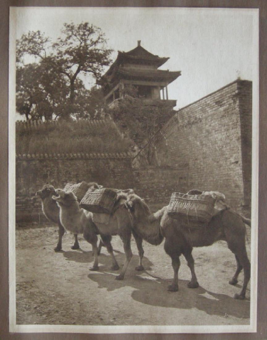 Camel Study, Peking. c1920