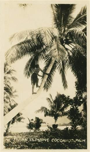 Fijian Climbing Cocoanut Palm. C1930.