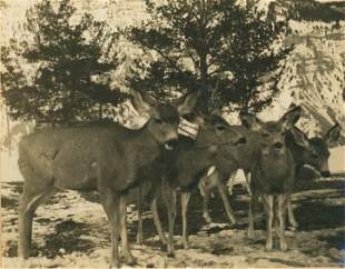 Young Deer in Yellowstone Park. c1925