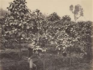 INDIA. Darjeeling; Chinchona Plantation at Tukdah.