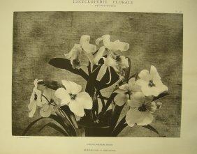 Cattleya Lawrenceana, Miltoniopsis Bleui