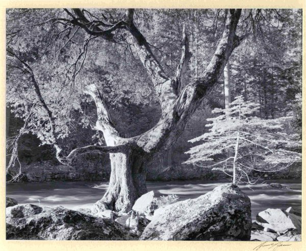 410: Ansel Adams Signed Print Morning Merced River Tree