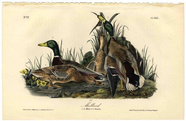 534: Lithograph John James Audubon Mallard First Editio