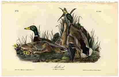 Lithograph John James Audubon Mallard First Edition Pic