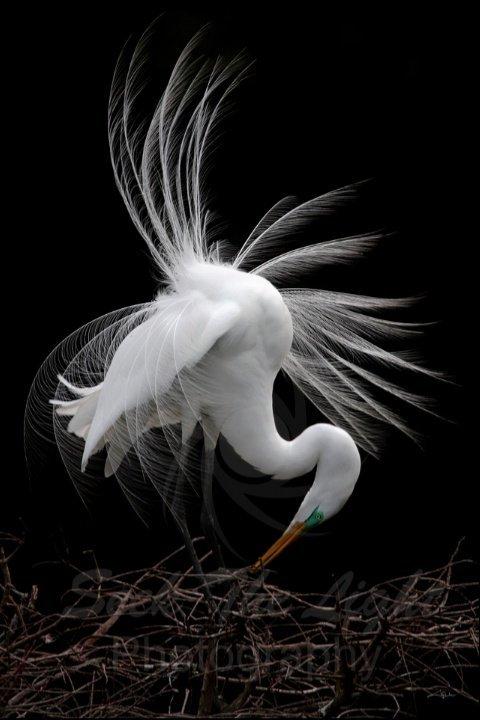 Elegance & Grace, Great Egret