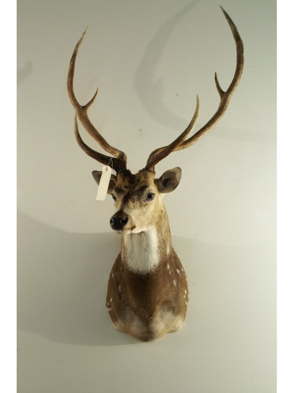 """372: Spotted deer mounted head, 26"""" wide by 39"""" high"""