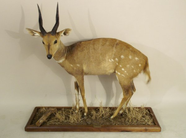 Complete bush buck in display scene with natural s