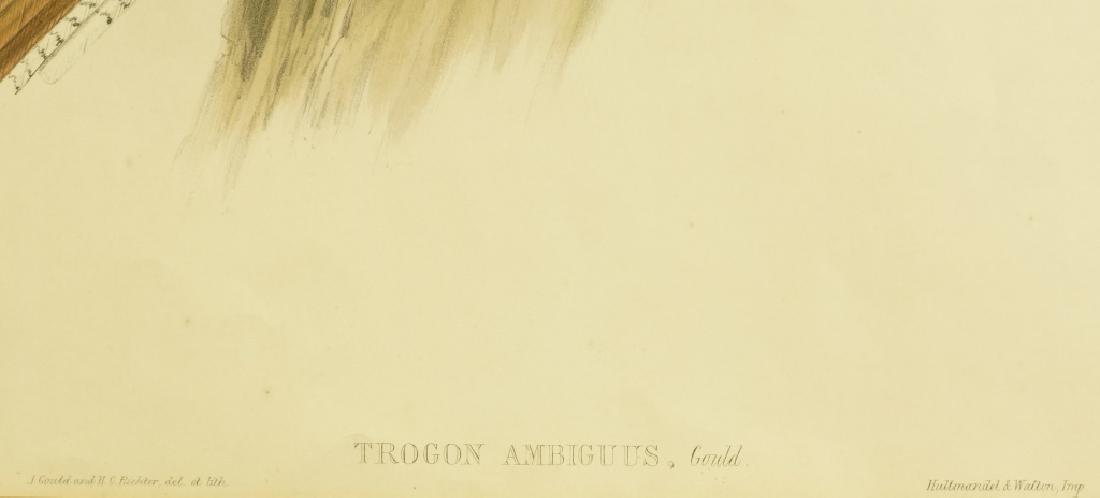 "J. GOULD 19th CENTURY ""TROGOM AMNIGUUS"" LITHO - 3"
