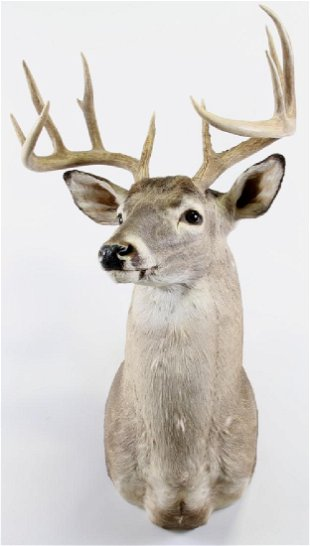 Whitetail Deer Shoulder Taxidermy Mount - Jul 14, 2019